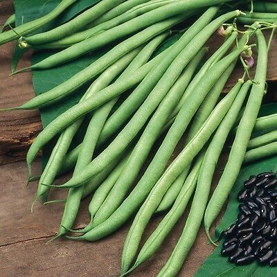 Kings Seeds - Beans - Climbing French Cobra - 50 Seeds