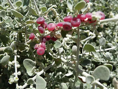 Spiny Thorny Berry Saltbush Seed Drought Frost & Drought Tolerant Low Growing