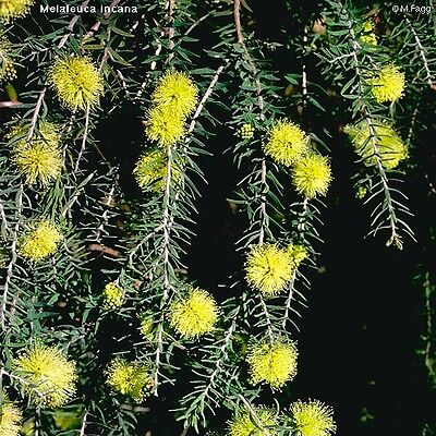 Grey Honey-Myrtle Seed, Dense Weeper  Frost Tolerant Showy Yellow Flowers