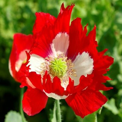 Papaver - Poppy - Danish Flag - 2000 Seeds