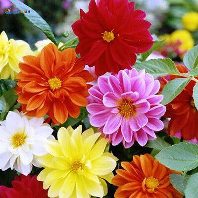 Dahlia Unwins Bedding  Mix Seed Great Cut Flower 8 Bright Colors Heat Tolerant