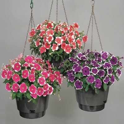 Petunia - Merlin Picotee Mixed - 100 Seeds