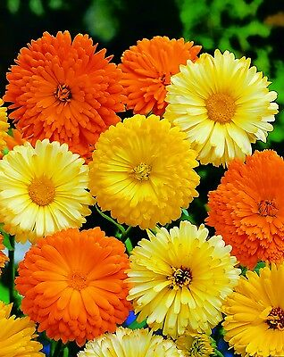 Flower - Kings Seeds - Pictorial Packet - Calendula - Art Shades Mixed