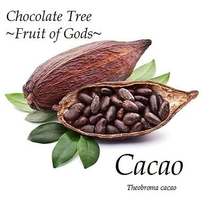 ~Fruit of Gods~ Chocolate Tree Theobroma Cacao Cocoa Small Potted starter Plant