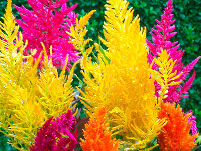 Celosia Pampas Plume Mix Seed 6 Colours Cockscomb Tall Variety to 1.2 m (48 in)