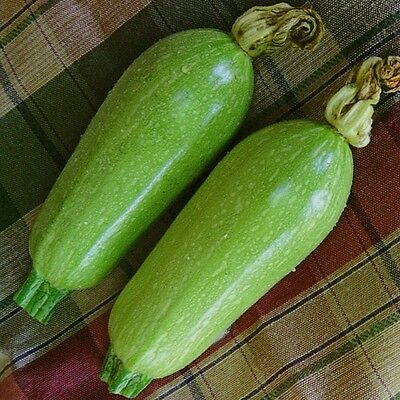 Kings Seeds - Courgette Clarion F1 (Lebanese Type) - 15 Seeds
