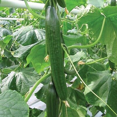 Kings Seeds - Cucumber Carmen F1 - 4 Seeds
