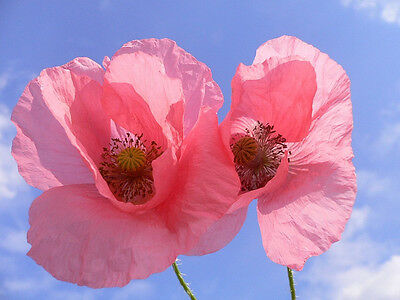 Poppy Large Pink Flowr Seed Annual Mass Planting Reseed Easy to Grow Papaver sp