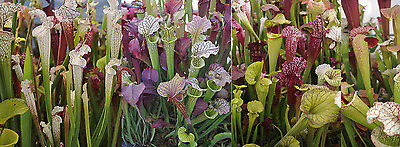 Mixed Hybrid Carnivorous Pitcher Plant (Sarracenia ssp.) - 25 Seeds