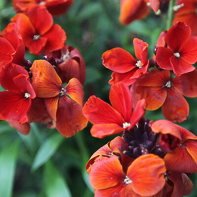 Wallflower Fire King Seed Fragrant Cut Flower Perennial - Erysium cheirii