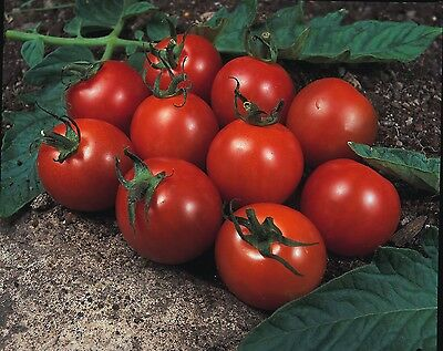 Vegetable - Kings Seeds - Pictorial Packet - Tomato - Alicante