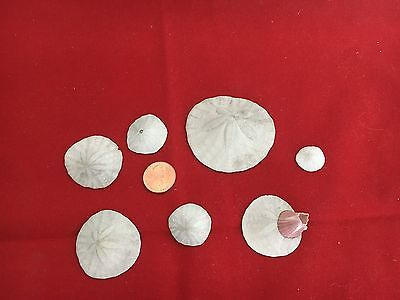 Lot Of 7 Various Size Sand Dollars