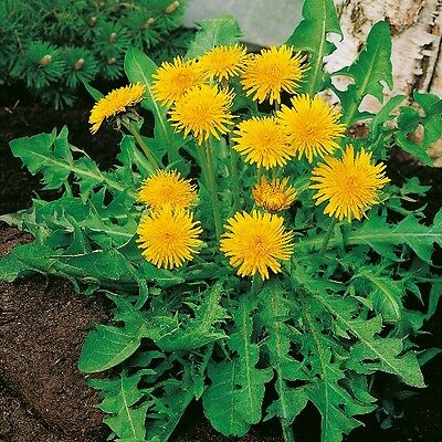 Kings Seeds - Dandelion - Pissenlit A Coeur plein (Taraxacum officin - 350 Seeds