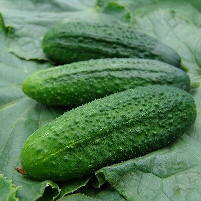 Vegetable - Cucumber - Partner - 20 Seeds