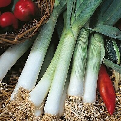 Vegetable - Leek - Blue Solaise - 600 Seeds