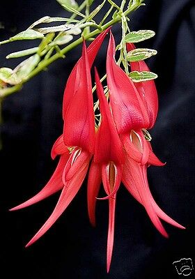 Kaka Beak Seed Critically Endangered in New Zealand No Frost Striking Red Flower