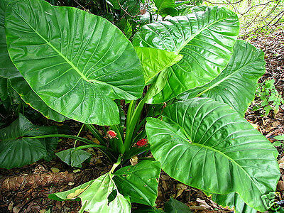 Cunjevoi or Spoon Lily Seed Rainforest Scented 2m Plant Large Leaves
