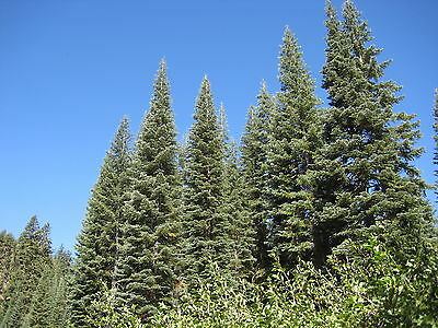 Abies magnifica SILVERTIP FIR Tree Seeds!
