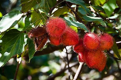 Annatto Lipstick Tree Seed Culinary Medicinal Herb Dye No Frost or Drought