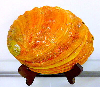 """Natural Large 7.75"""" California Red Abalone Shell"""