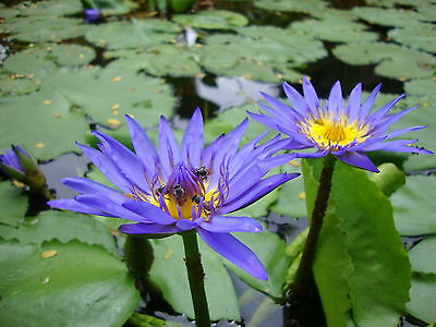 Nymphaea capensis DARK BLUE TROPICAL WATER LILY SEEDS