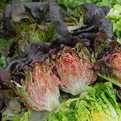 Kings Seeds - Lettuce Intred (Gem) - 200 Seeds
