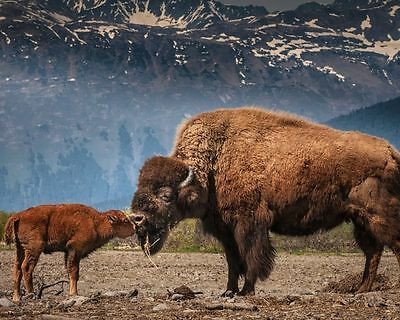 Buffalo With Baby Bison 8X10 Glossy Photo Picture