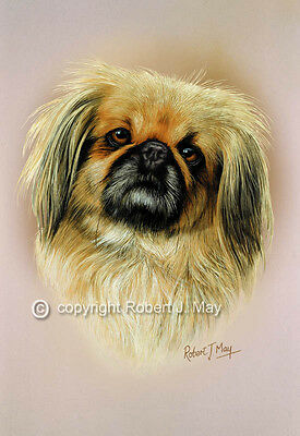 Pekingese Head Study Print by Robert J. May