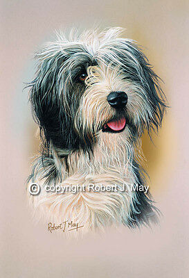 Bearded Collie Head Study Print by Robert J. May