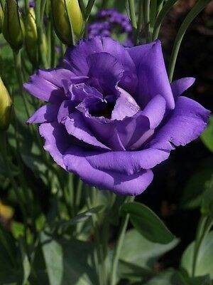 8 graines de LISIANTHUS BLEU (Eustoma Grandiflorum )H300 TEXAS BLUEBELL SEEDS