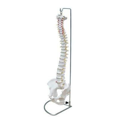 66fit™ Flexible Vertebral Column With Pelvis - Medical Training Aid