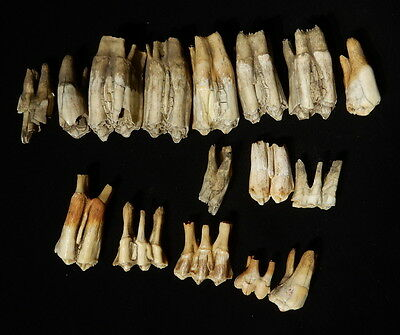 16 Fossil Teeth from Large Mammals. Collection unidentified teeth Large Mammal