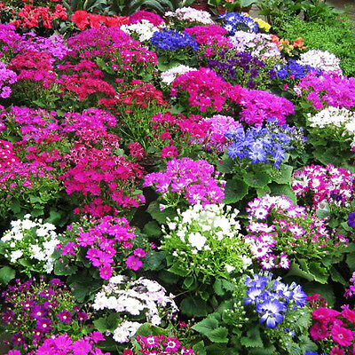 Cineraria Tall Grandi Mix Seed Annual Winter & Spring Flowering Partial Shade