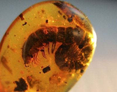 Burmite Amber with Millipede Inclusion