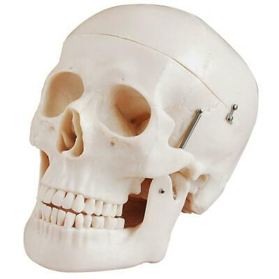 66fit Deluxe Life Size Human Skull Anatomical Model - Medical Training Aid