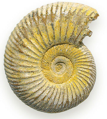 NEW FOSSILS OF THE WORLD Genuine Fossil Ammonite - 5cm Diameter - 1 only