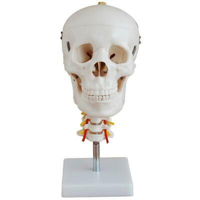 66fit™ Skull With Cervical Spine Anatomical  - Medical Training Aid