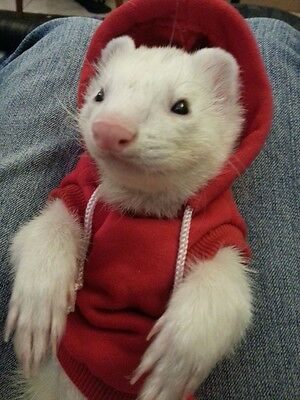 Marshall Ferret Sweatshirt Hoodie 3-5 Lb - Red