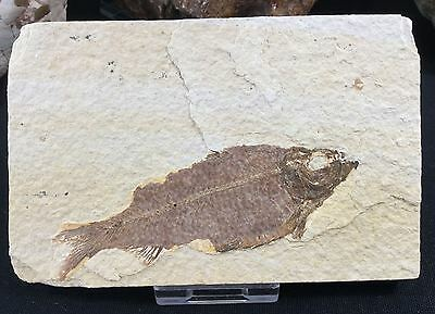 Knightia Fossil Fish - Kemmerer, Wyoming, 50 million years (Eocene epoch)