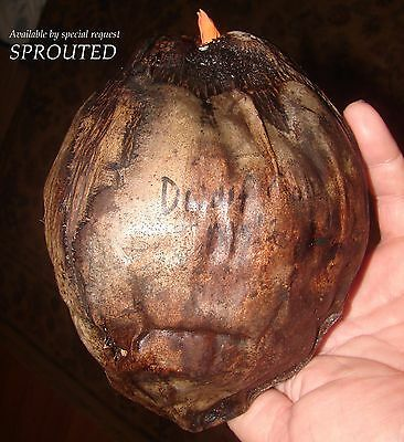 ~RED TAHITI RANGIROA~ Dwarf COCONUT Cocos nucifera JUST SPROUTED Sml Leaf Plant
