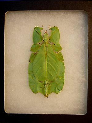 Framed Insect Gray's Leaf Insect  in Natural Display  LQQK