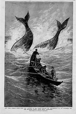 Whale Hunting Monsters Diving After Harpooned Amagansett Long Island New York