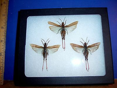 Framed Insect Xenocatantops humilis Trio in Natural Display  LQQK
