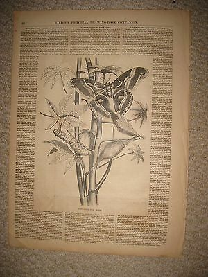 Antique 1855 East India Silk Worm Print Insect Moth Butterfly Superb Rare Nr