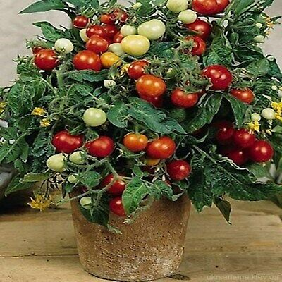 Seeds Red Cherry Tomato Linda All Year Indoor Variety