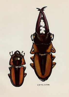 Vintage BEETLE Print RED STAG Beetle Art Gallery Wall Art Insect Print 1534