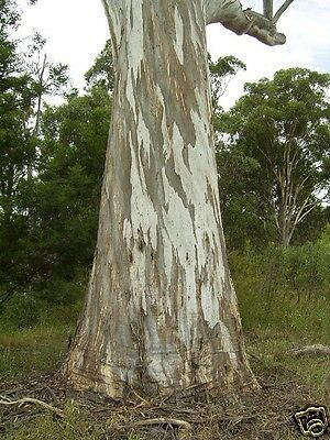 Forest Red Gum Seed Major Koala Food Widespread Tree Frost & Drought Tolerant