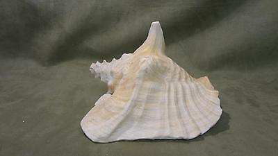 Huge Beautiful and Colorful Conch Shell; seashells, beach, ocean, decorations