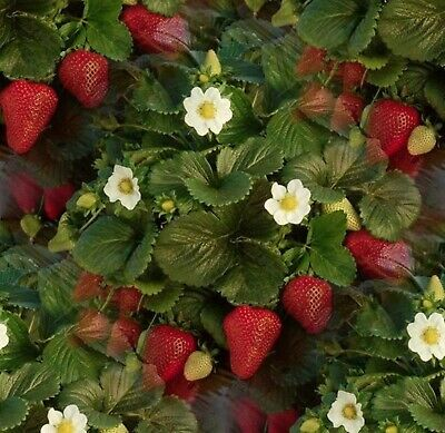 Seeds Strawberry Fresca Organically Grown Large Berries Open Pollinated Variety