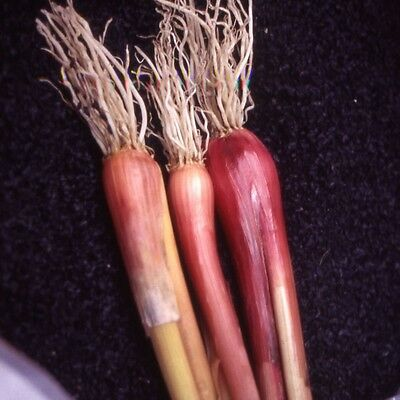 Kings Seeds - Spring Onion Welsh Red - 200 Seeds